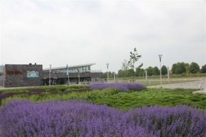 Lavendel bij zwembad De Windas