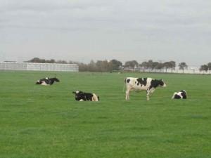 Koeien in Berkel noord